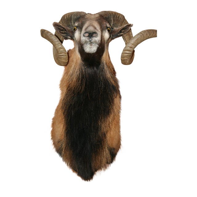 Mouflon Black and Tan Ram Mount - Image 1 of 3