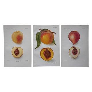 1900's Antique Peach Lithographs - Set of 3