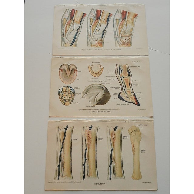 Image of Antique Horse Veterinary Lithographs - Set of 3