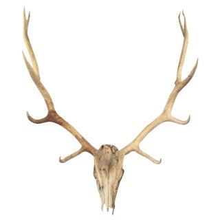 Roosevelt Elk Head & Antlers