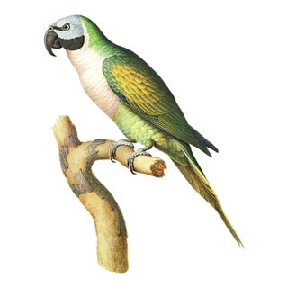 """Matted and Framed Vintage Larousse Perroquet """"Moustache Parakeet"""" Color Lithograph"""