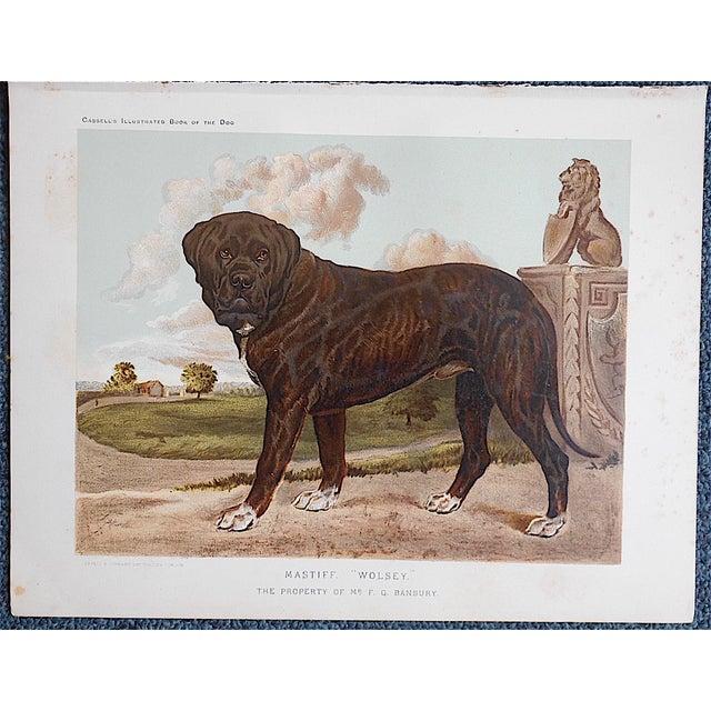 "Antique Dog Lithograph ""Mastiff"" - Image 3 of 3"