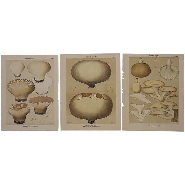 Image of Antique Mushroom Lithographs- Set of 3