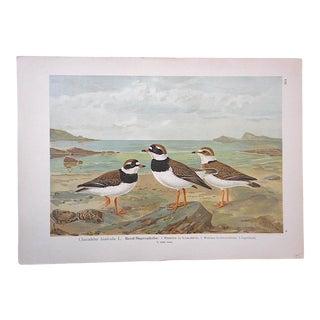 Antique Bird Lithograph, Water & Shore Birds