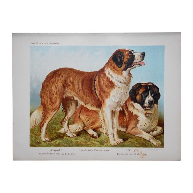 Antique Dog Lithograph - St. Bernards - Image 1 of 3