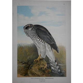 Antique Lithograph Birds of Prey-Large