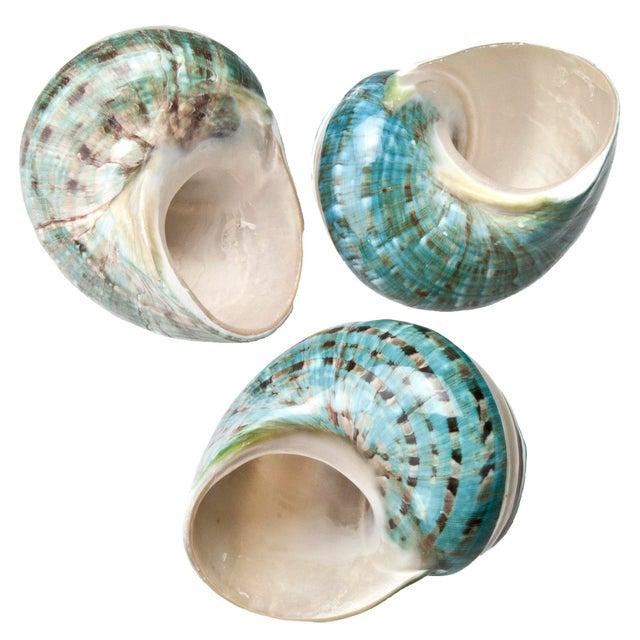 Image of Polished Jade Turbo Shells - Set of 3