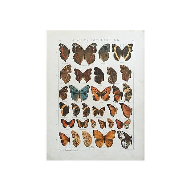 1910 Butterfly Specimen Lithograph - Image 1 of 5