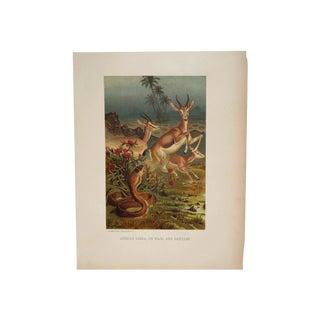 19th C. Cobra & Antelopes Chromolithograph