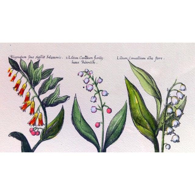 Image of Botanical Print by Emanuel Sweert