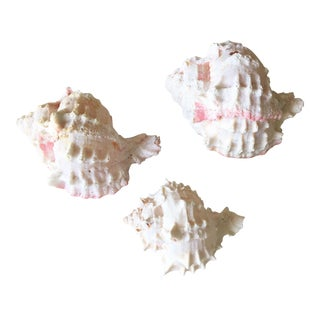 Natural Pink Queen Conch Set/3 Nautical Decor