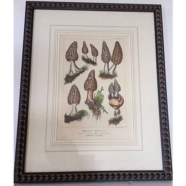 Botanical Lithograph of Moral Mushrooms - Image 2 of 4
