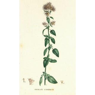 Antique Oregano Botanical Print, C. 1830