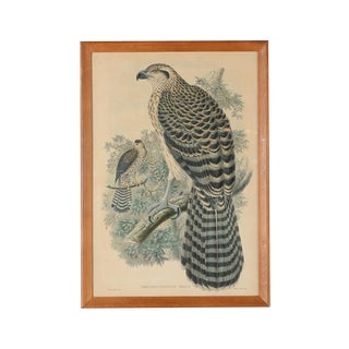 "John Gould ""Erythrotriorchis Dorlae"" Bird Litho."