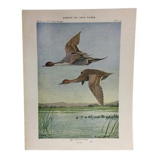 Vintage Birds of New York Pintail Ducks Print