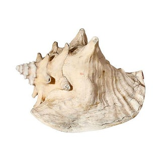 Natural Conch Shell