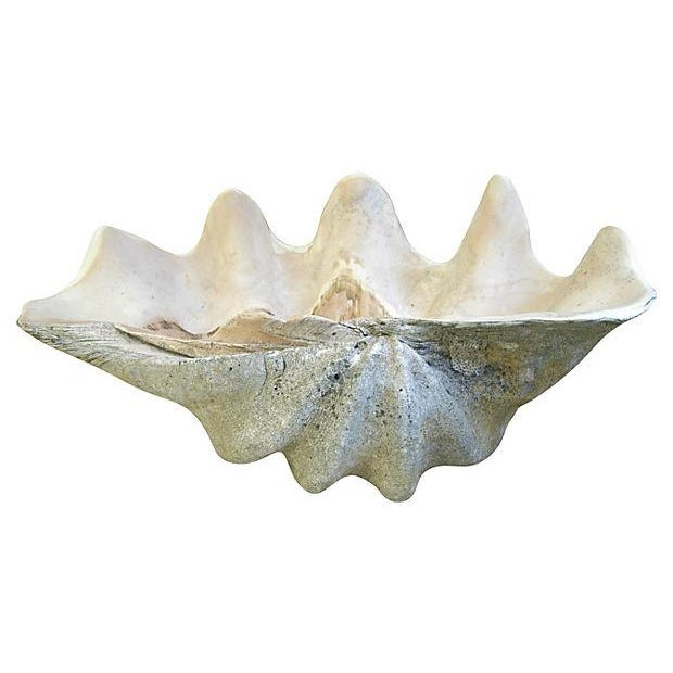 Jumbo Large Antique Saltwater Clamshell - Image 1 of 7