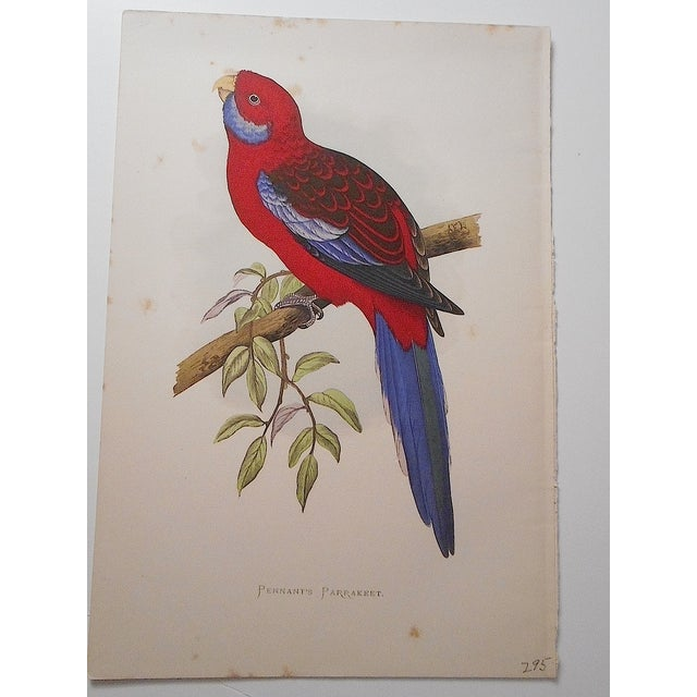 Image of Antique Parakeet Lithograph