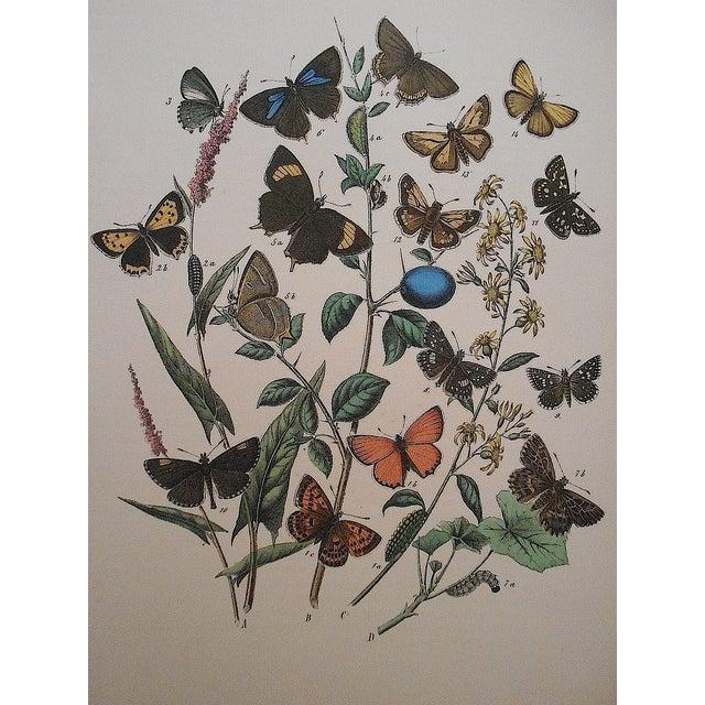 Antique Butterflies/Moths Lithograph Print - Image 3 of 4