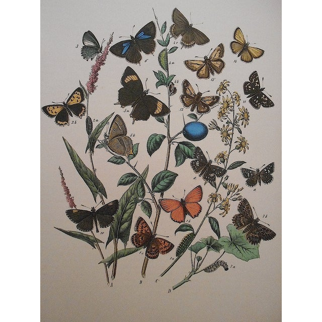 Image of Antique Butterflies/Moths Lithograph Print
