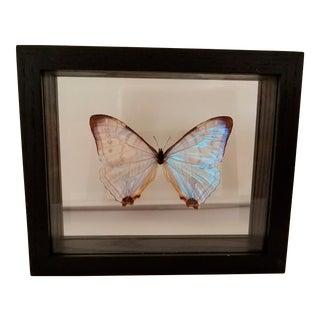 Framed Pearl Morpho Butterfly