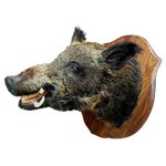 Image of Huge Wild Russian Boar Taxidermy Shoulder Mount