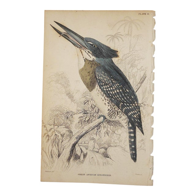 Image of Antique Kingfisher Bird Engraving Print