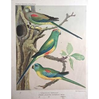 Antique 1878 Parakeets Color Lithograph
