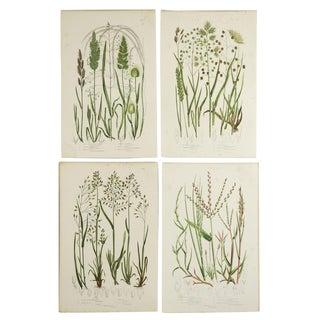 Antique Botanical Grasses Lithograph - Set of 4