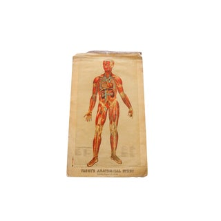 Antique 19th Century Anatomical Chart Yaggy's Muscle Skeleton Man