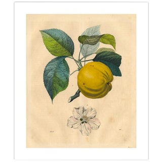 Antique 'Apple Branch' Archival Print