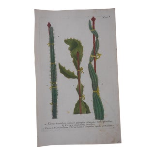 Circa 1740 Johann Weinmann Botanical Mezzotint