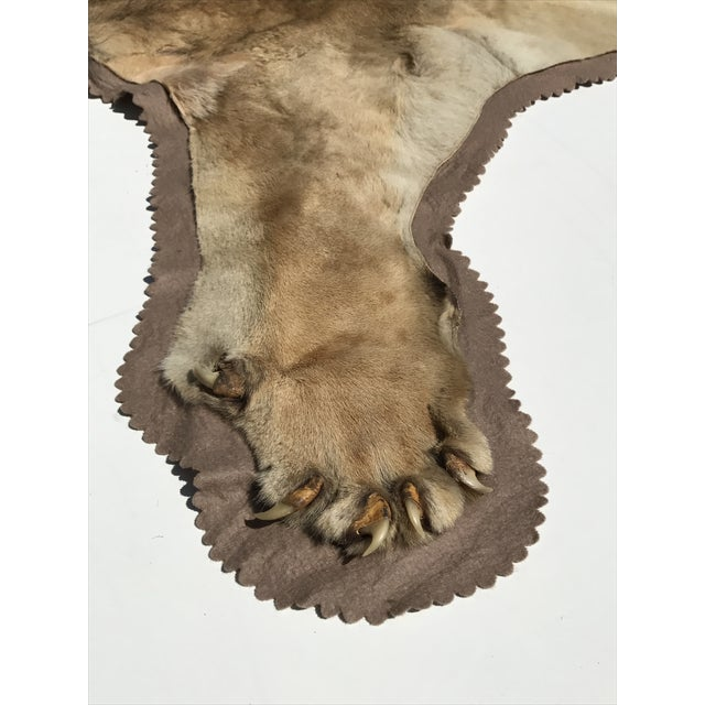 Lion Taxidermy Rug - Image 8 of 10