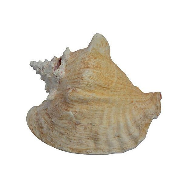 Queen Conch Shell - Image 3 of 3
