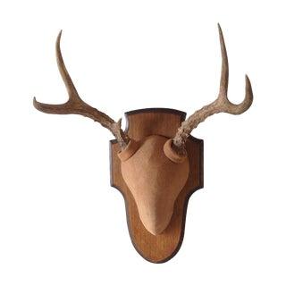 Taxidermy Deer Antler Trophy