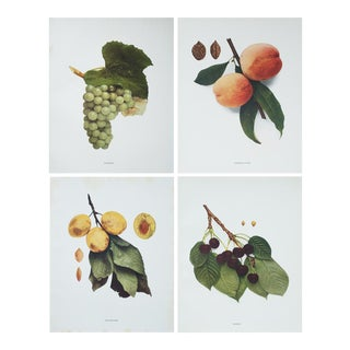 Large Antique Fruit Photogravures, S/4