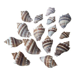Volute Seashells Collection - Set of 15