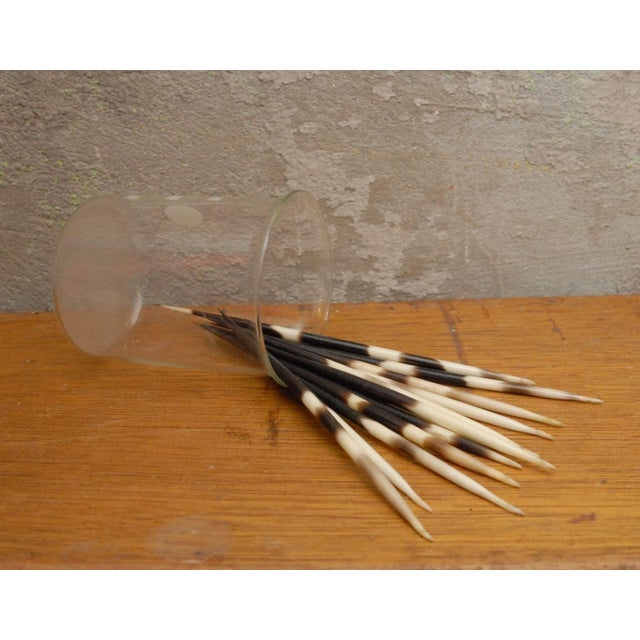 Image of Collection of Thick Porcupine Quills - Set of 12