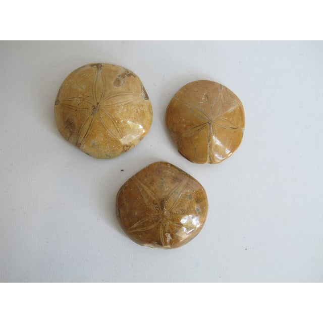 Fossilized Sand Dollars - Set of 3 - Image 2 of 5