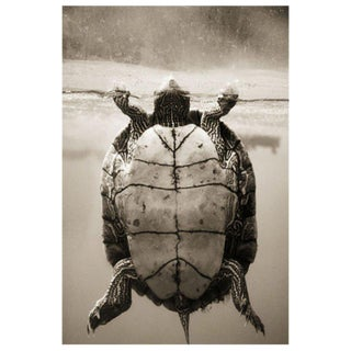 Texas Map Turtle–Graptemys versa by Henry Horenstein