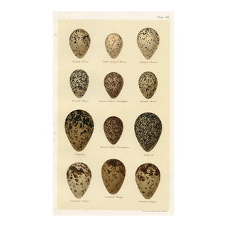 Eggs of British Shorebirds, 1896