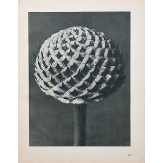 Karl Blossfeldt Double Sided Photogravure N67-68