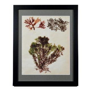 Victorian Ladies' Pressed Seaweed Pictures - Set of 6