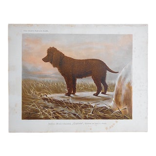 Antique Dog Lithograph - Irish Water Spaniel