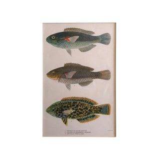 Vintage 1905 Hawaiian Fish Lithograph