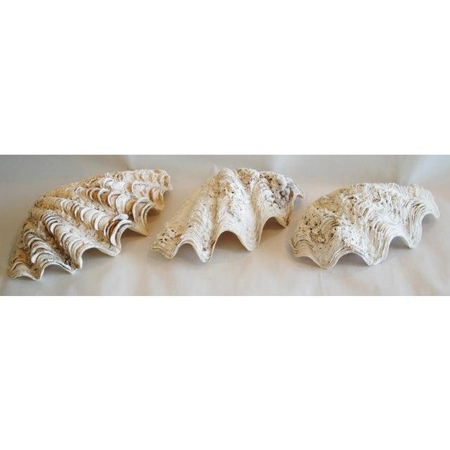 Antique Nautical Seashells Clamshells - Set of 3 - Image 3 of 10