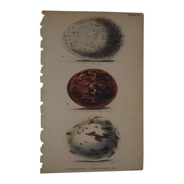 Image of Antique Hand Colored Bird Eggs Engraving