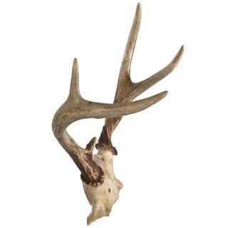 Whitetail Deer Antler Rack