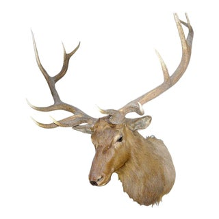 Monumental Twelve-point Elk Mount