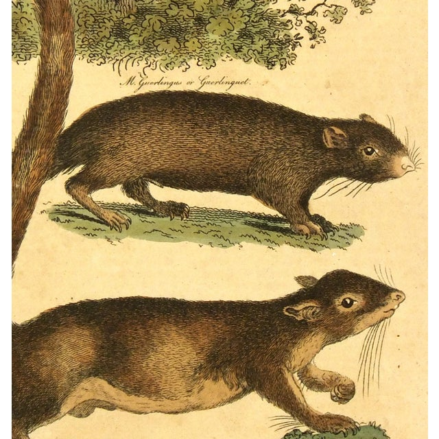 Image of Antique French Engraving, Dormouse & Squirrels, 18